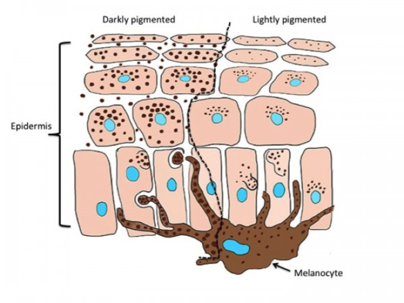 melanocyte is the cell that produces pigment
